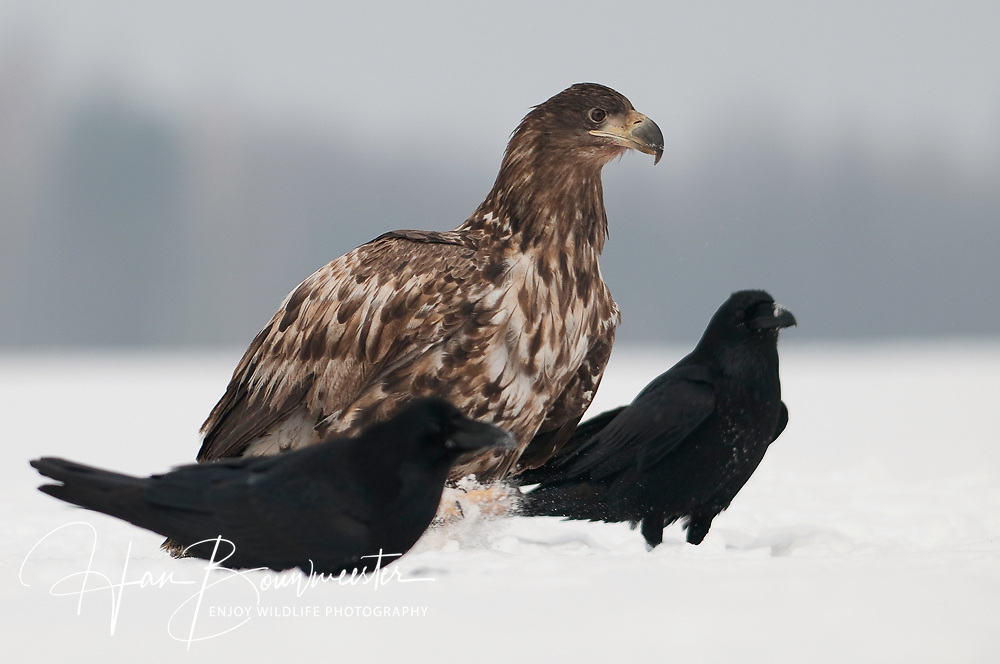 Zeearend tussen raven in de sneeuw; White tailed eagle and Raven in snow