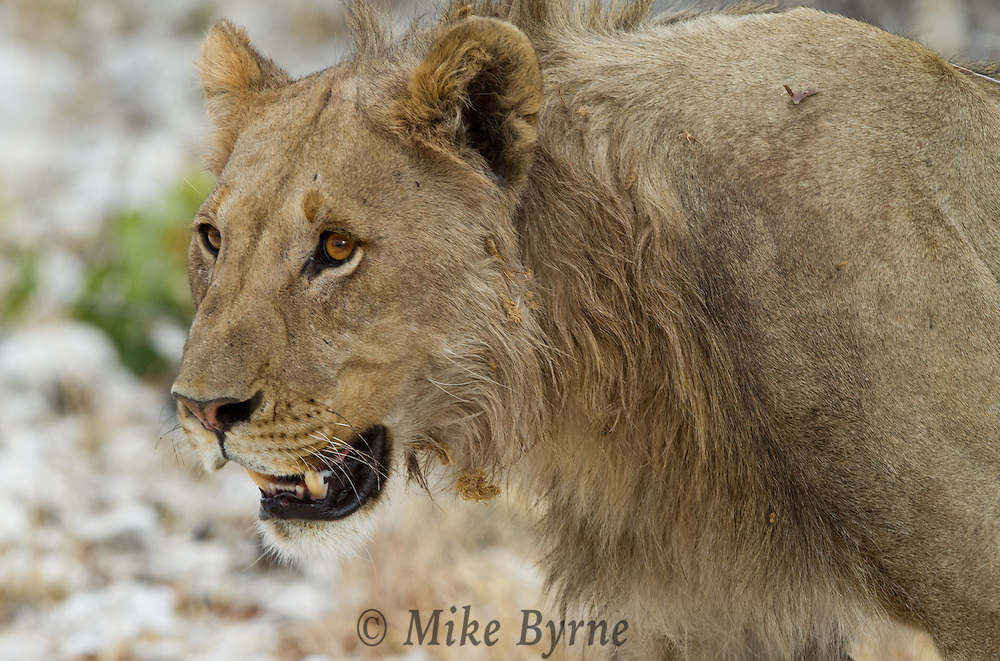African Lion (Panthera leo) at Etosha National Park,, Namibia.