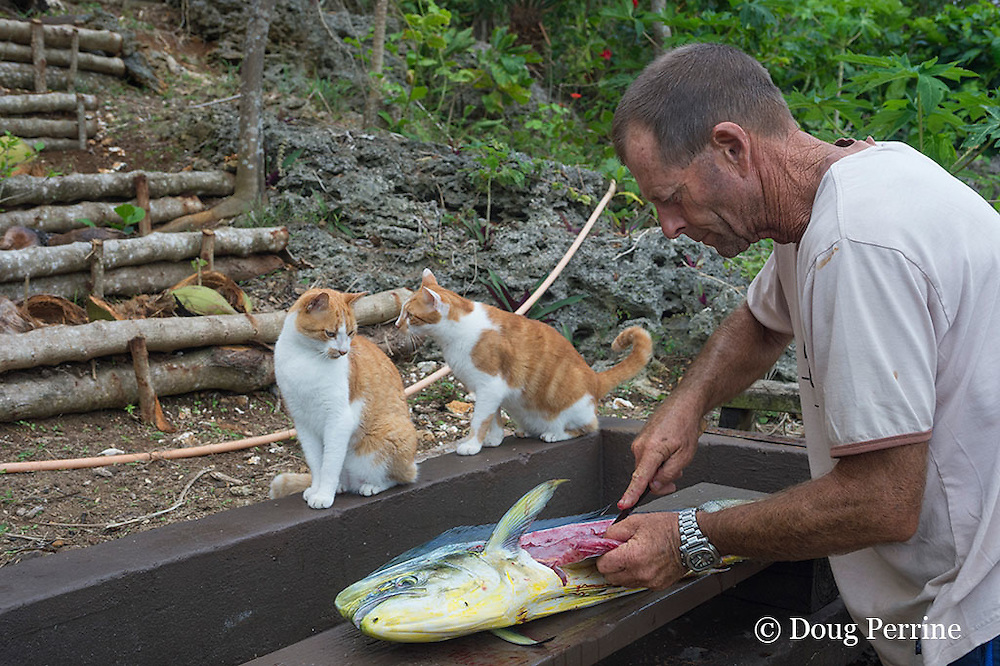 cats watch with anticipation while Capt. Steve Campbell cleans and fillets mahi mahi fish caught aboard Reel Addiction, Ika Lahi Fishing Lodge, Vava'u, Kingdom of Tonga, South Pacific