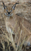 Caracal (Felis caracal) captive<br /> Makalali Private Reserve<br /> Limpopo Province<br /> SOUTH AFRICA<br /> RANGE: Found throughout Africa but more common further south