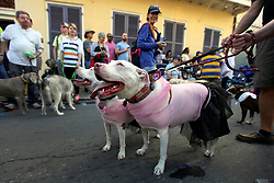 31 January 2016. New Orleans, Louisiana.<br /> Mardi Gras Dog Parade. Pit bulls at the Mystic Krewe of Barkus as the parade winds its way around the French Quarter with dogs and their owners dressed up for this year's theme, 'From the Doghouse to the Whitehouse.' <br /> Photo©; Charlie Varley/varleypix.com