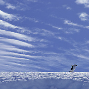 Gentoo Penguin (Pygoscelis papua) walking on an ice ridge on Laurie Island, South Orkney Island.
