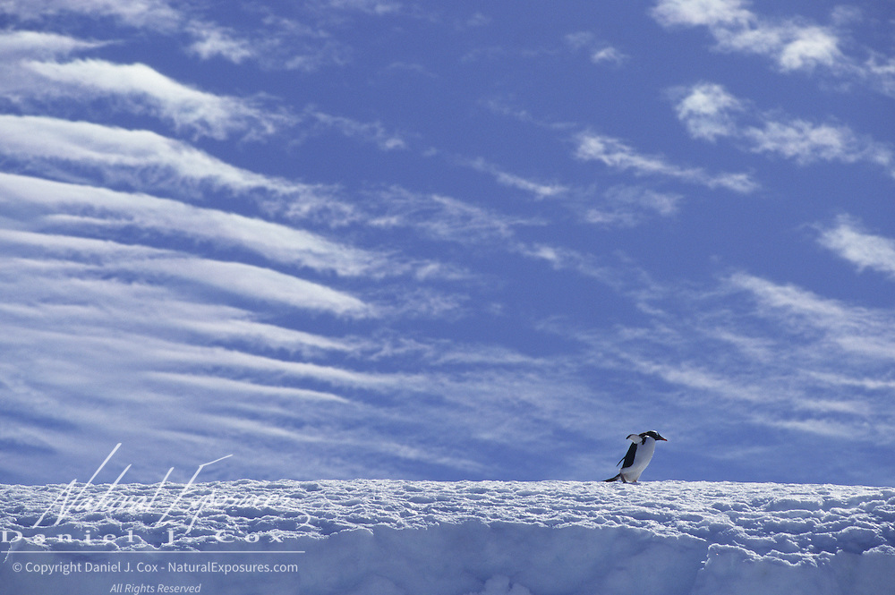 Gentoo Penguin (Pygoscelis papua) walking on an ice ridge on Laurie Island, South Orkney Island.