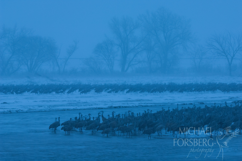 Platte River, Nebraska<br /> <br /> Audubon Rowe Sanctuary<br /> <br /> Migrating Sandhill cranes remain on the roost during afternoon hours during spring blizzard on Platte. <br /> <br /> Blizzard dumped over two feet of snow in 36 hours.