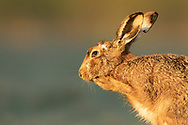 European Hare (Lepus europaeus) adult cleaning face, South Norfolk, UK. March.