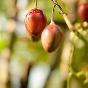 Tree Tomato, Organic farming, Alishan Township,Chia Yi County, Taiwan