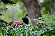 Feeding Tui in Auckland garden, taken for Forest & Bird magazine.