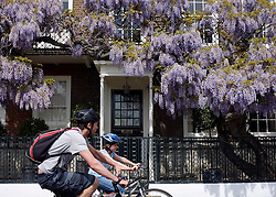 © Licensed to London News Pictures. 26/05/2013. London, UK People cycle past a house with a lovely display of laburnum hanging. People enjoy the warm Bank Holiday weather along the banks of the River Thames in West London today 26th May 2013. Photo credit : Stephen Simpson/LNP