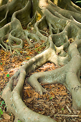 Banyon Tree roots