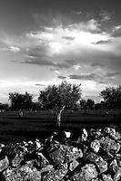 Acquaviva delle Fonti 17/10/2010, muretto a secco e sullo sfondo alcuni alberi di ulivo.....La raccolta delle olive e la produzione dell'olio extravergine sono un rituale che si protrae da moltissimo tempo in Puglia, questo avviene solitamente nel periodo che va da novembre a dicembre, mentre il lavoro di preparazione e coltivazione si svolge lungo tutto l'arco dell'anno..La raccolta è seguita nella maggior parte dei casi, quando le olive non vengono vendute all'ingrosso, dalla molitura presso gli oleifici per la produzione di quello che da queste parti viene chiamato anche oro verde..