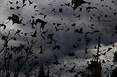 Zambia: Kasanka Bat Migration