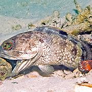 Banded Jawfish inhabit shallow areas of sand, coral rubble and rocks; live in burrow usually extend head, in Tropical West Atlantic; picture taken Barbados.