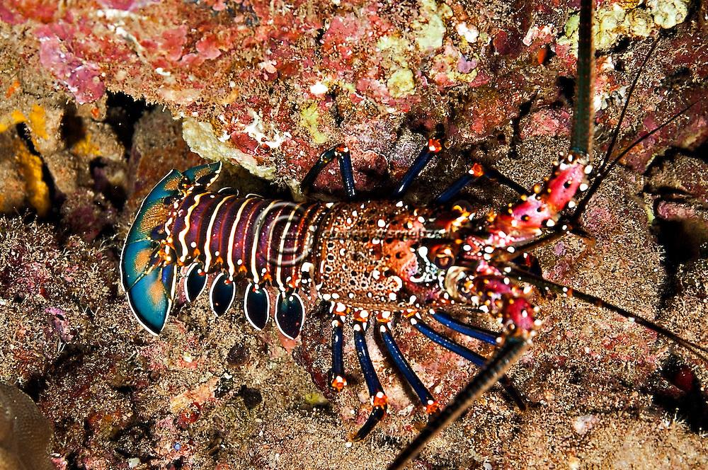 Banded Spiny Lobster, Panulirus marginatus, (Quoy & Gaimard, 1825), Maui Hawaii