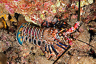 Banded Spiny Lobster, Panulirus marginatus, (Quoy & Gaimard, 1825), Maui Hawaii