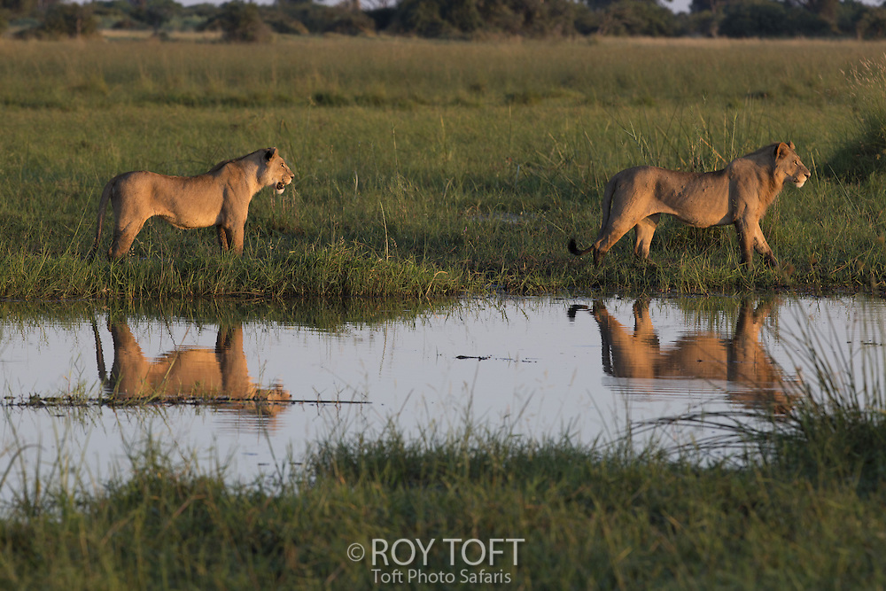 Reflection of two African lions, Duba Plains, Botswana