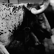 Pamplona, Spanien, Bild aus der Serie For Four Minutes, Stierlauf