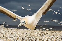 Cape Gannet in flight, Malgas Island, Western Cape, South Africa