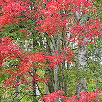 Red sugar maples brighten the fall foliage near Kettle Pond, in the Groton State Forest, Groton, Vermont.