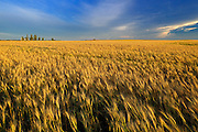 Wheat crop<br /> Hodgeville<br /> Saskatchewan<br /> Canada