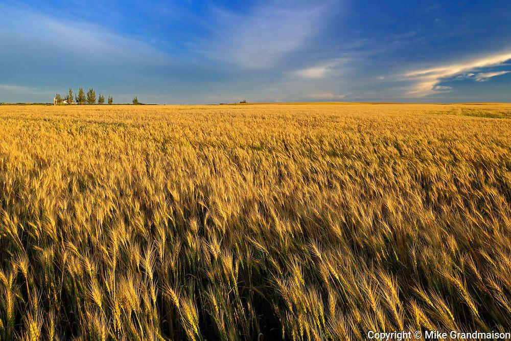 Wheat crop<br /> Hodgeville<br /> Saskatchewan<br /> Canada