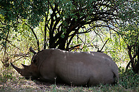 White Rhinoceros resting in the Masai Mara reserve in Kenya Africa