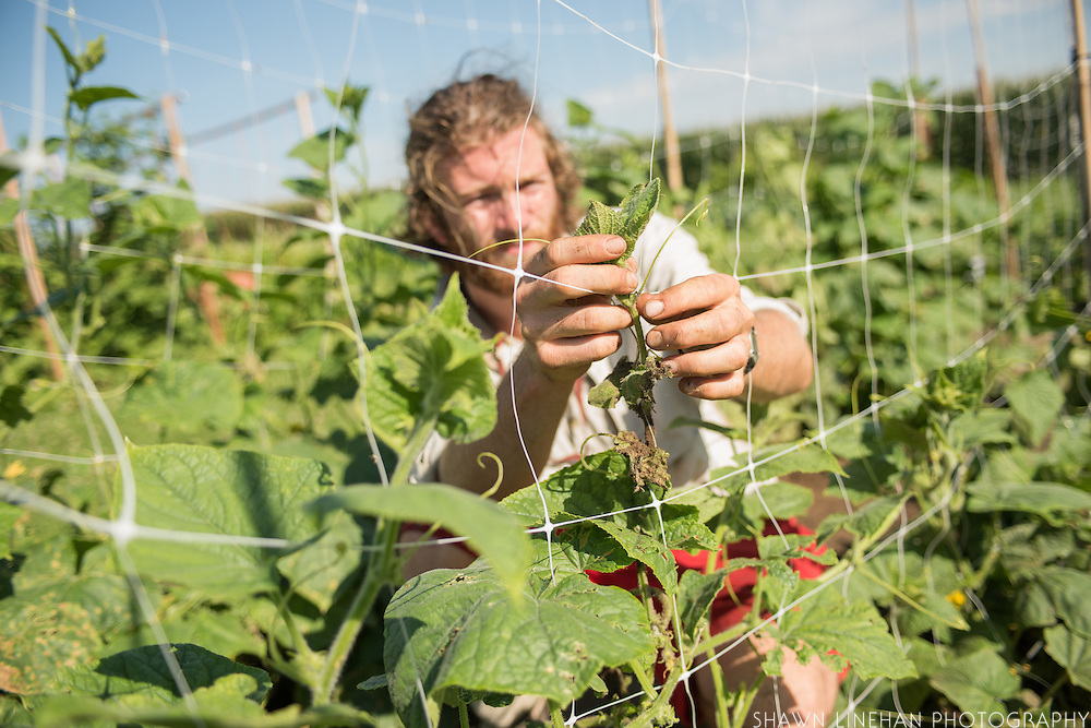 A student stakes up bean plants at the University of Wiconsin Madison's research farm as part of their studies.