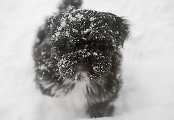 Beast From The East, 1st March 2018<br /> <br /> Luna the Lhasa Apso pup enjoyed playing in the heavy snow which keeps falling in central Scotland<br /> <br /> Alex Todd | EEm