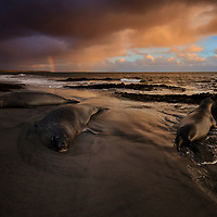 Elephants seals and a rainbow, Sea Lion Island, Falkland Islands, 2017