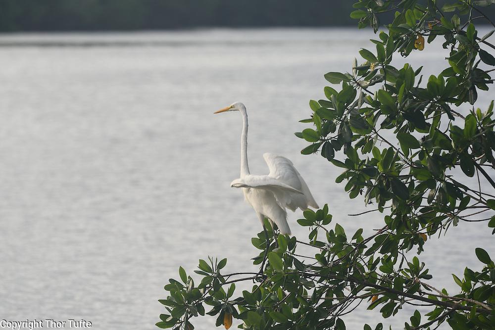 Great Egret in Rio Soco, Dominican Republic.