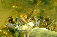 Rusty Crayfish feeding on dead fish<br />
