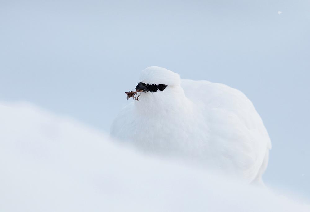 Rock Ptarmigan, Lagopus mutus hyperborea, Spitsbergen, Svalbard