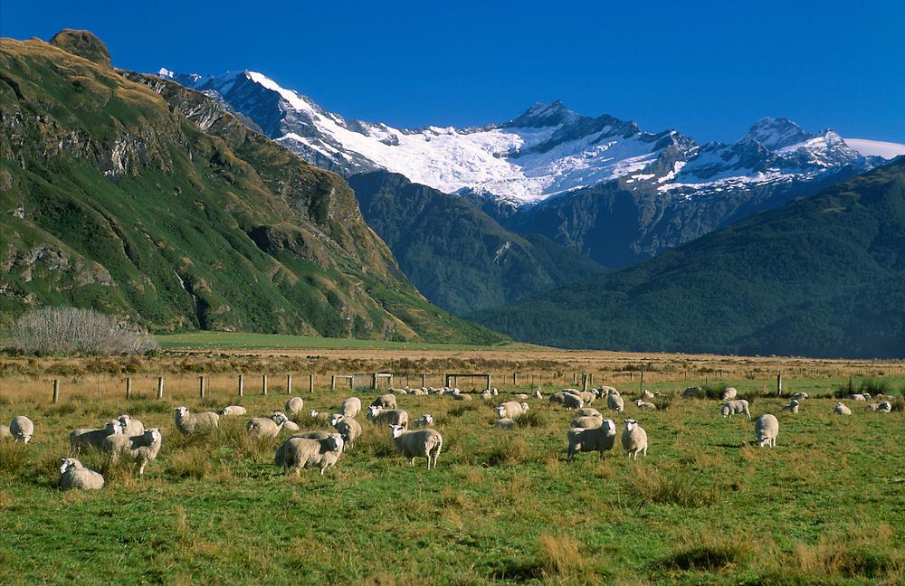 Sheep along Mt Aspiring Rd Wanaka