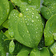 &quot;Life'<br /> <br /> Beautiful lush green leaves with life giving water droplets after a spring rain!