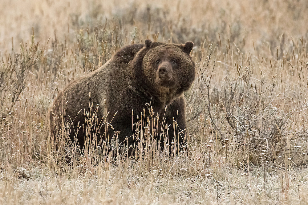 At more than twenty years of age, the grizzly sow known as, Blaze, is somewhat of a matriarch of the grizzlies of Yellowstone Lake.  As adults, many of Blaze's offspring now share the territory their mother introduced them to when they were just tiny cubs.