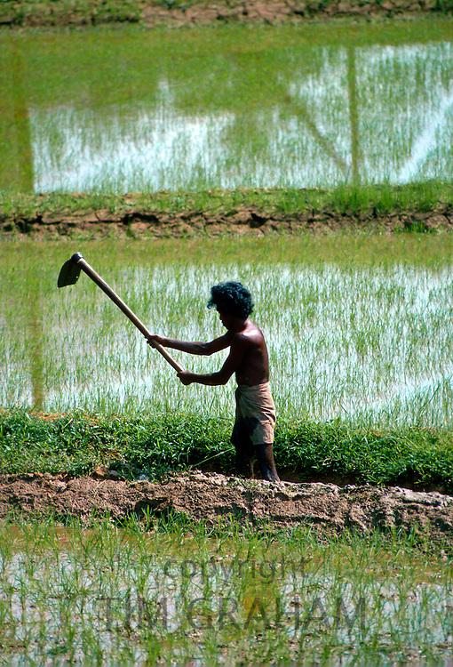 A man working in the paddy  fields near Kandy, Sri Lanka
