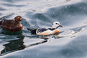 Steller's Eider, Polysticta stelleri, male & female, Barents Sea, Varanger, Norway