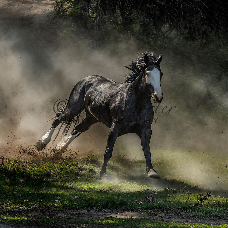 These beautiful horses were photographed at the Three Bars Guest Ranch in Canada. I love how the dust in some of them creates such drama and emotion.<br /> <br /> TO ORDER; <br /> https://claireporterphotography.pixieset.com/canadianhorses/<br /> <br /> Any enlargement may be ordered by emailing me, too. I look forward to consulting with you and creating your very own fine art image. <br /> <br /> Thank you!