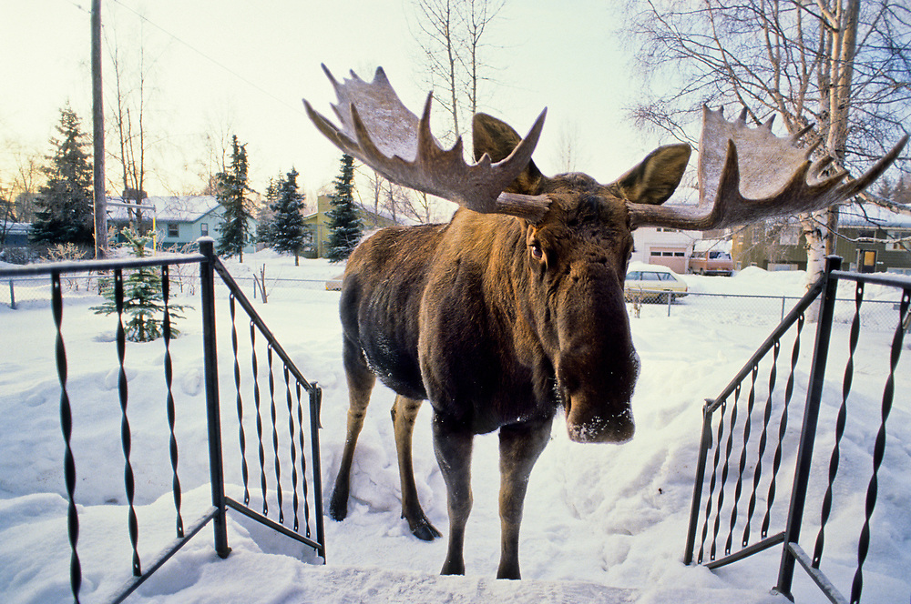 Alaska. Anchorage. Bull Moose on front porch of Anchorage home in winter.