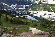 A mountain goat enjoys the view at Glacier National Park in Montana, United States.  This mountain goat was actually quite the camera ham.  He amiably modeled in with different backgrounds for hikers.  He even posed in front of a sign telling about the lakes, before settling down on the edge of a cliff to take in the view.