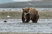 A brown bear adult catches a salmon in the lower lagoon at the McNeil River State Game Sanctuary on the Kenai Peninsula, Alaska. The remote site is accessed only with a special permit and is the world's largest seasonal population of brown bears in their natural environment.