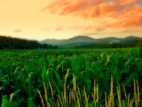 """Vermont Field of Dreams"" - Looking across a corn field with mountains in background and a dramatic sky.  Soft focus effect."