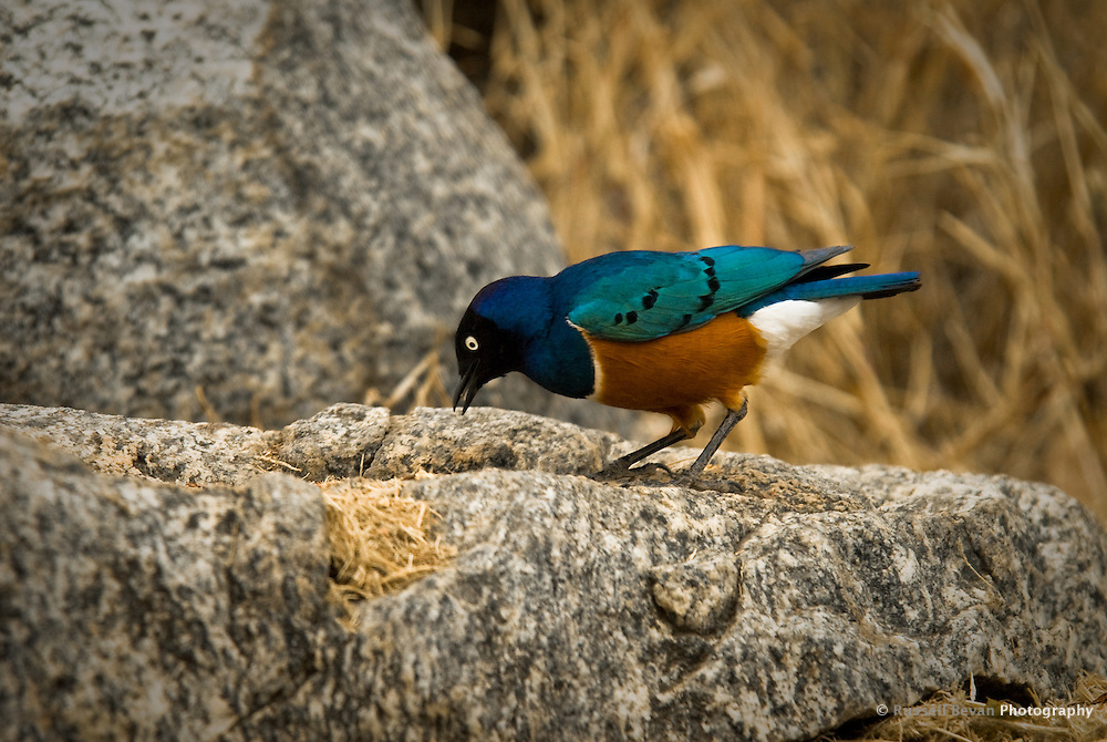 A colourful Superb Starling in the Serengeti National Park, Tanzania