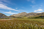 Field of Alaska Cotton (Eriophorum Scheuchzeri) at Thompson Pass in Southcentral Alaska. Summer. Afternoon.
