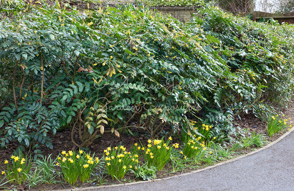 Mahonia cv as a hedge with Narcissus 'Tete-a-Tete'