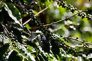 Muniz Freire_ES, Brasil...Pe de cafe ao lado de trecho da Rota Imperial...A coffee tree next to Imperial Route...Foto: LEO DRUMOND / NITRO