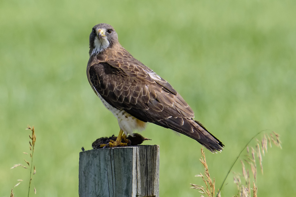 Swanson's Hawk, Longmont, Colorado