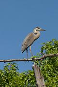 Great Blue Heron, Mariaville, Maine