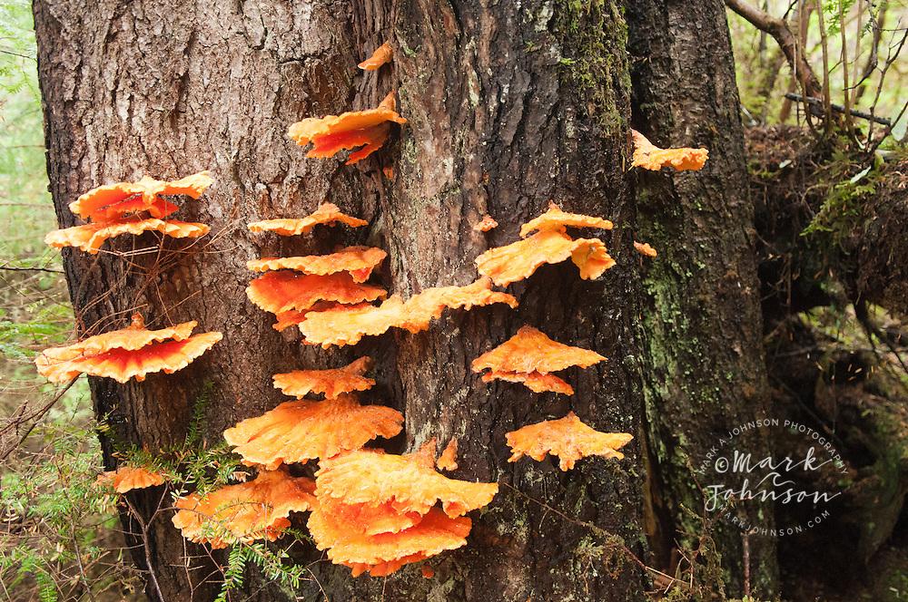 Orange fungi growig on tree, Pirate's Cove, Sitka, Alaska