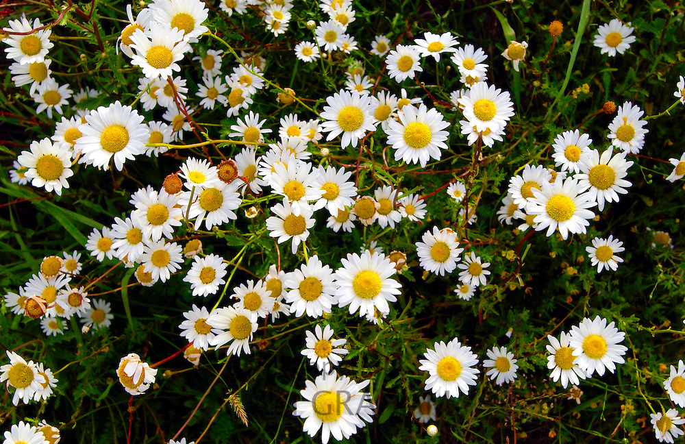 Daisies, North Island, New Zealand