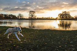 © Licensed to London News Pictures. 08/12/2017. London, UK. A dog enjoying his walk at sunrise on a cold winter morning in Bushy Park. Forecasters recorded subzero overnight temperatures as Storm Caroline hits Britain. Photo credit: Rob Pinney/LNP